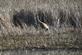 Sandhill crane. Taken April 30, 2016 Green Island, Iowa by Linda Goodman.
