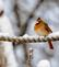 """There's """"nose"""" business like snow business&#59; Cardinal sports a snowy beak. Taken January 23, 2019 Backyard, Dubuque  by Deanna Tomkins."""