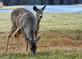 Deer and yearling graze side by side. Taken February 23, 2017 Jones County by Deanna Tomkins.