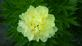 vibrant yellow peony blooms. Taken 6-3-18 backyard by Patti Menster.