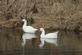 Two goose reflection off the glass-like water of a pond.. Taken April 11, 2018 Bergfeld  pond, Dubuque co., IA by Veronica McAvoy.