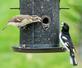 Grosbeaks feud on the birdfeeder. Taken May 10, 2020 Backyard, Dubuque  by Deanna Tomkins.