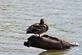 One legged duck stand-off on a log.. Taken September 5, 2020 Bergfeld  pond, Dubuque co., IA by Veronica McAvoy.
