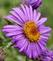 Pop of purple color for New England Aster.. Taken September 12, 2021 Bergfeld  pond, Dubuque co., IA by Veronica McAvoy.