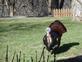Tom turkey in strut.. Taken April 24 2018 Rural Dubuque by Dick Welu.