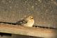 Winter goldfinch looks sleepy by a birdfeeder.. Taken February 14, 2017 Mines of Spain by Veronica McAvoy.