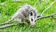 A possum youngster clumsily climbs over a branch. Taken October 5, 2020 percent  Backyard, Dubuque by Deanna Tomkins.