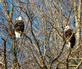 A pair of eagles on the bluffs. Taken December 31, 2017 Below Eagle Point Park, Lock and Dam No. 11, Dubuque by Deanna Tomkins .