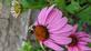 Bee happy. Taken 07/09/20 In my garden by Stephanie Beck.