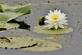 A water lily blooms in a marsh.. Taken June 24, 2021 John Deere Marsh, Dubuque, IA by Veronica McAvoy.