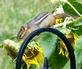 Look who's back! Chippy climbs garden gate to find the sunflowers. Taken August 17, 2017 Backyard, Dubuque by Deanna Tomkins.