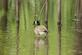 Green tree tops reflect off the back waters of the Mississippi river, while a goose stands.. Taken April 25, 2017 Back waters of Mississippi river, Dubuque, IA by Veronica McAvoy.