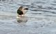 A drake mallard plays with it's food--a fish.. Taken February 15, 2021 Ice Harbor, Dubuque, IA by Veronica McAvoy.