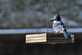 Blue Jay. Taken December 14 at the feeder by Gary j. Hillard.