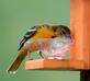 Female Baltimore Oriole savors a few drops of grape jelly left. Taken May 16, 2017 Backyard by Deanna Tomkins.