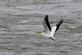 A pelican flies over the river.. Taken June 9 2018 O'Leary's Lake, WI and Lock and Dam #11 by Veronica McAvoy.
