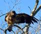 An immature eagle displays an impressive pose. Taken November 12, 2016 O'Leary's Lake, Wisconsin by Deanna Tomkins.