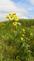 Iowa's amazing wild flowers. Taken 8-6-18 hwy 151 by Patti Menster.