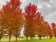 A row of colorful trees. Taken October 19 In Galena by Lorlee Servin.