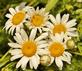 Daisies in bloom.. Taken June 30, 2019 Bergfeld  pond, Dubuque co., IA by Veronica McAvoy.