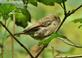 """""""Sleepy Sparrow."""". Taken October 14, 2019 Swiss Valley nature center, Dubuque co., IA by Veronica McAvoy."""