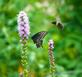 Both Butterfly and Hummingbird wanting the flower. Taken July 2019  Dubuque  by Peggy Driscoll  .