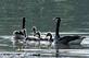 Out for a swim, Canada geese family on river. Taken May 13, 2017 Wisconsin by Deanna Tomkins.