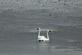 A pair of trumpeter swans swim in the Mississippi river.. Taken October 3, 2017 Along the Mississippi river, Iowa side. by Veronica McAvoy.
