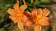 Pretty tawny orange daylillies. Taken 07/11/20 In my garden by Stephanie Beck.