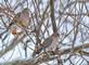 Mourning Doves perch on branches overlooking busy bird feeders. Taken January 15, 2021 Backyard, Dubuque  by Deanna Tomkins.