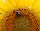 Always Bee Sunny. Taken August 2015 Near Potosi, Wisconsin by Laurie Helling.