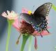 Duplication observation- Swallowtail and zinnia petals imitation. Taken August 17, 2017 Backyard, Dubuque by Deanna Tomkins.