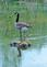 Partial reflection of a Canada goose off the pond water.. Taken May 25, 2020 Heritage Pond, Dubuque, IA by Veronica McAvoy.