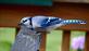Bluejay looks for chipmunk's peanuts. Taken October 19, 2016 Backyard by Deanna Tomkins.