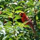 Cardinal in Cherry tree. Taken June 18, 2016 Backyard, Dubuque by Deanna Tomkins.