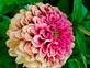 Rainbow colored giant zinnia. Taken Late August In my garden by Stephanie Beck.